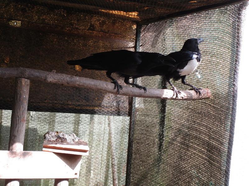 Corbeau pie ( Corvus albus) (2011) - Page 9 Oiseau19