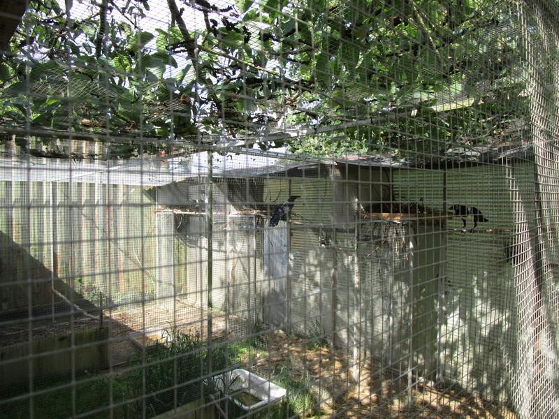 Corbeau pie ( Corvus albus) (2011) - Page 9 Oiseau20