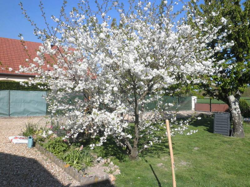 Avez vous des conseils pour aider un cerisier? P4120413