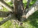 Avez vous des conseils pour aider un cerisier? P4120414