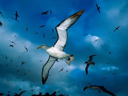 L'albatros - Charles Baudelaire L_alba10