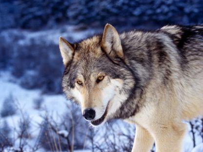 La mort du loup - Alfred de Vigny La_mor12