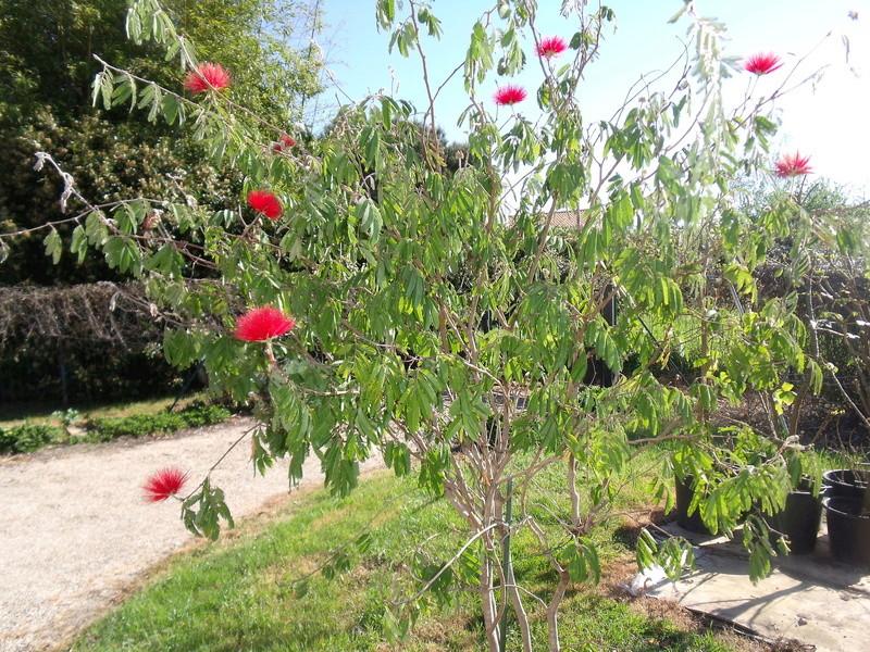 Calliandra tweedii Cailla11