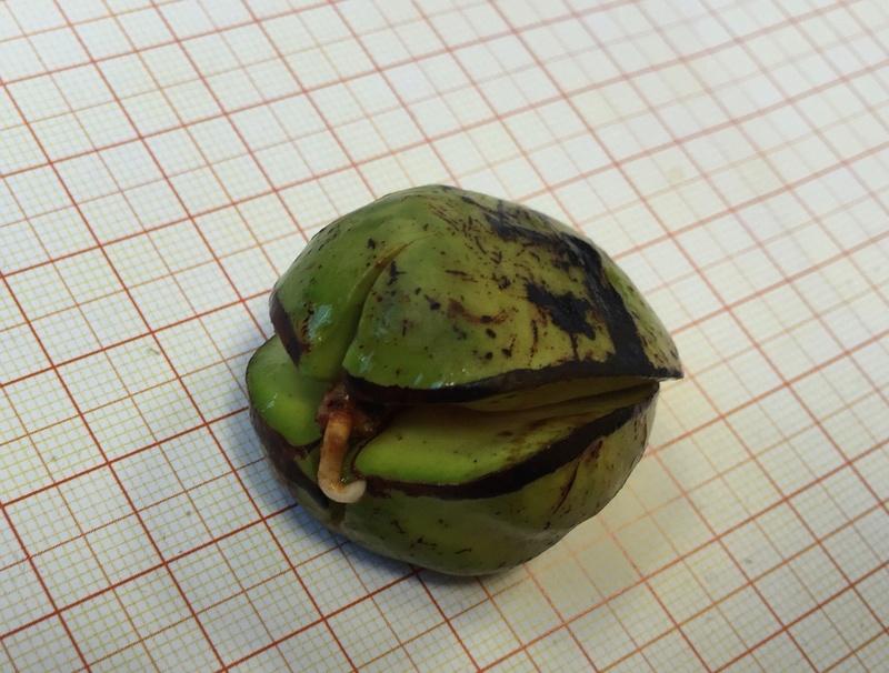 Culture ethnobotanique en France : Kolatier - Noix de Cola nitida, acuminata et gigantea. Captur21