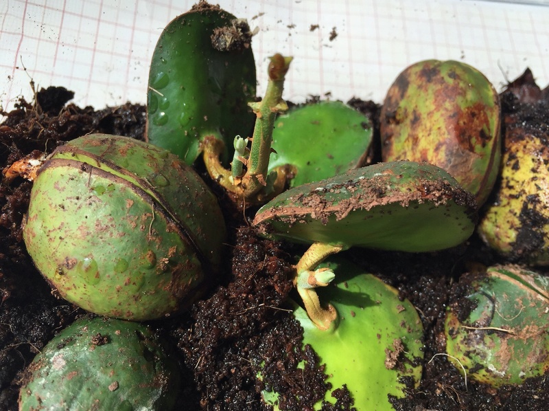 Culture ethnobotanique en France : Kolatier - Noix de Cola nitida, acuminata et gigantea. Captur42
