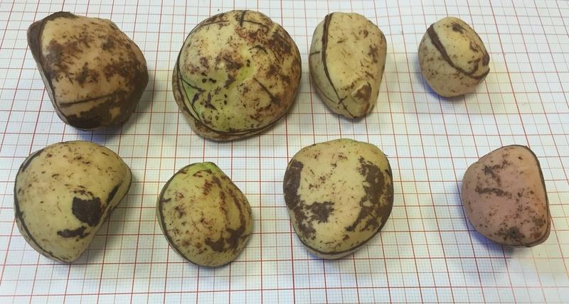 Culture ethnobotanique en France : Kolatier - Noix de Cola nitida, acuminata et gigantea. Captur85