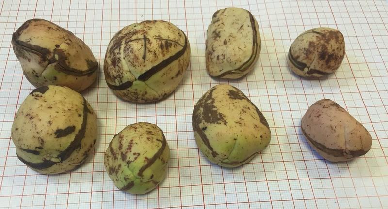 Culture ethnobotanique en France : Kolatier - Noix de Cola nitida, acuminata et gigantea. Captur88