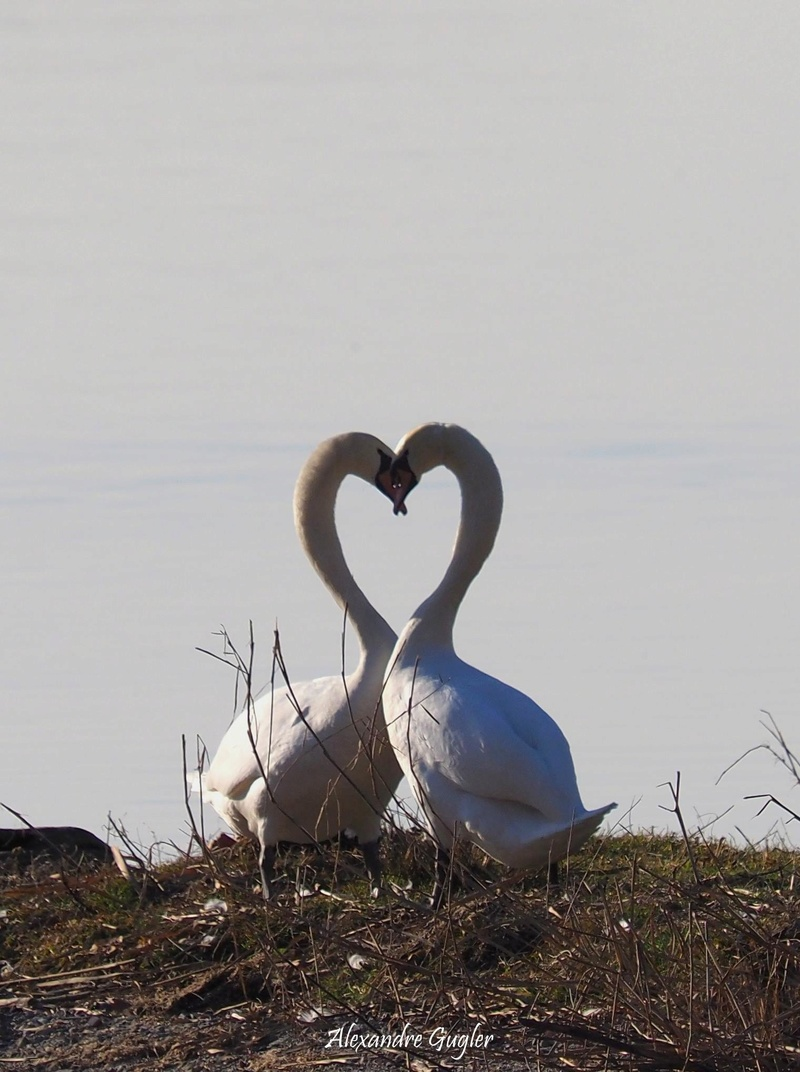 Cygnes d'amours natur'ailes Cygnes11