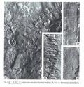 La reproduction  des végétaux au carbonifère - Page 2 Planch12