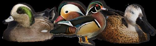 ( fiches d'élevage ) Les Canards de Surface