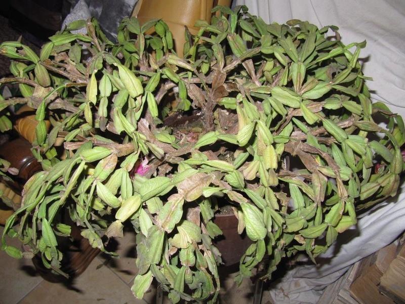 cactus de Noel 00115