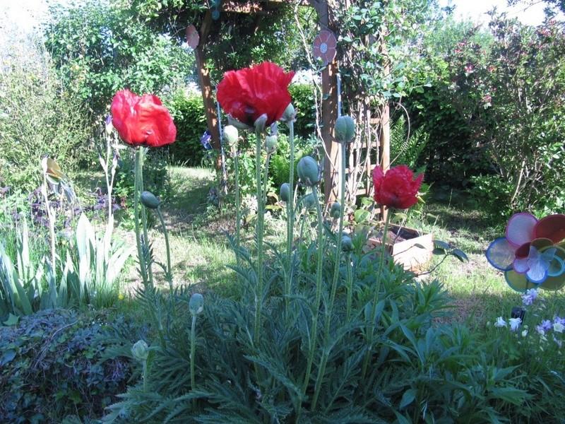 mes pavots du jardin 00123