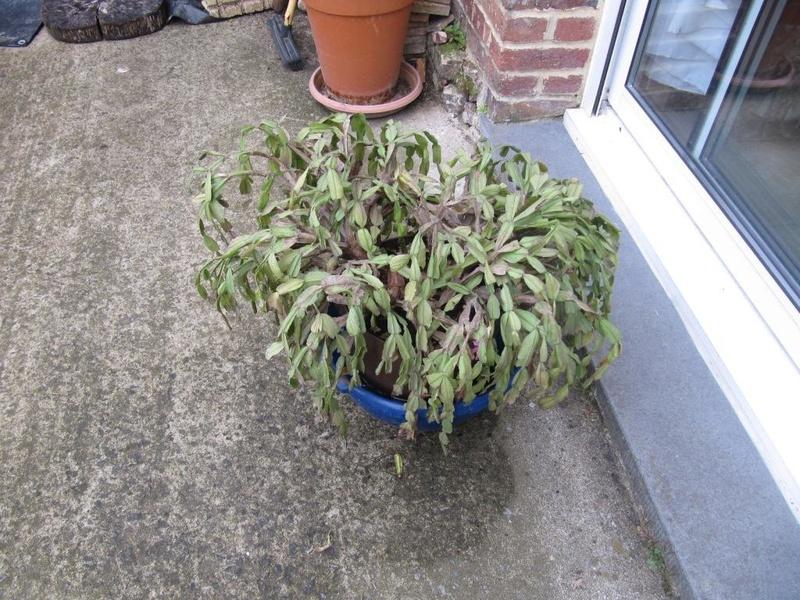 cactus de Noel 00215