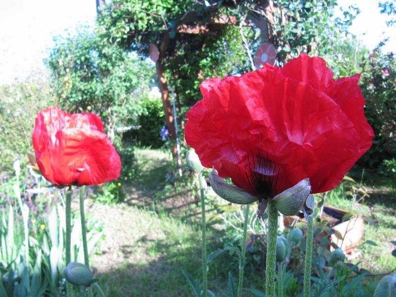 mes pavots du jardin 00219