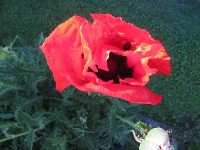 mes pavots du jardin 00322