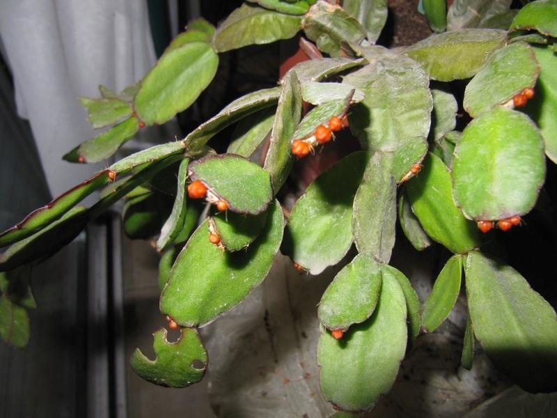 cactus de Noel 00413