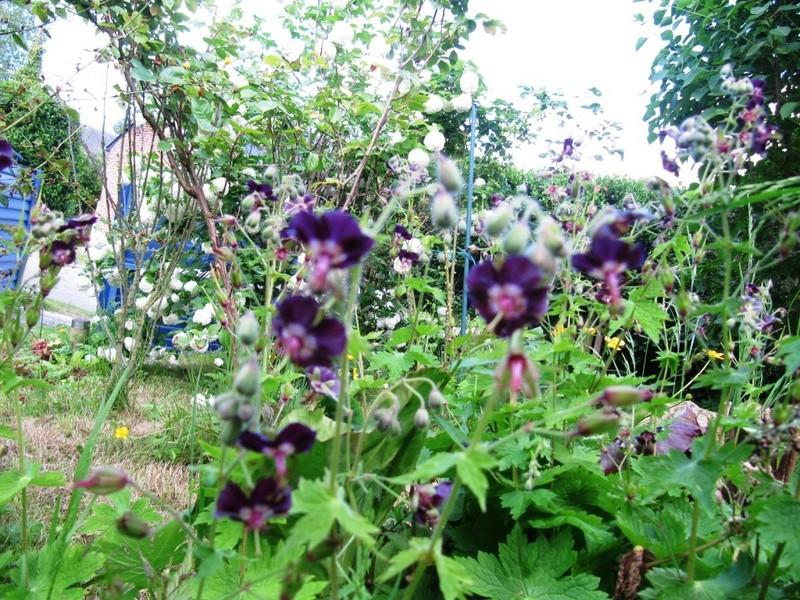 en vrac les floraisons du jardin  00516