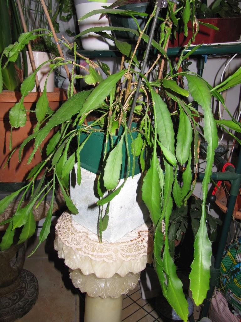 epiphyllum ou pas ? 00714