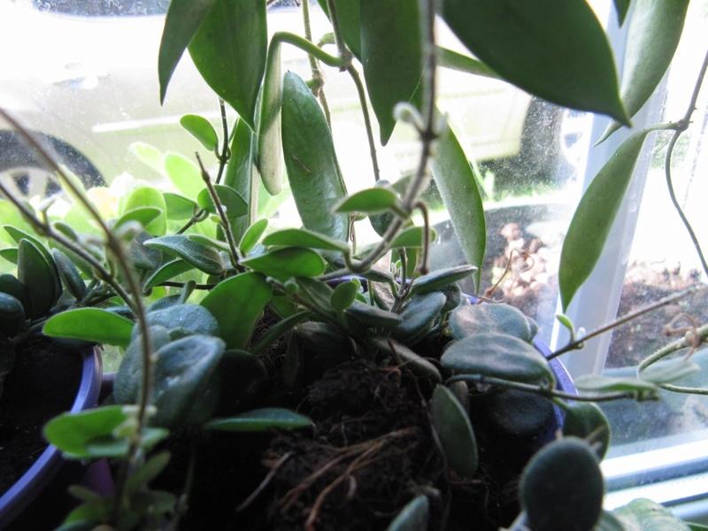 floraisons Hoyas 01111