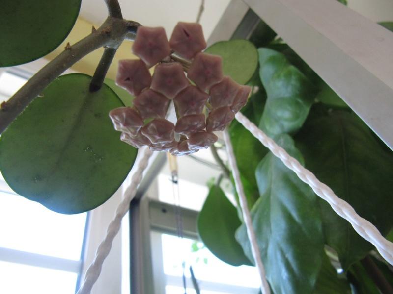 floraisons Hoyas 01313