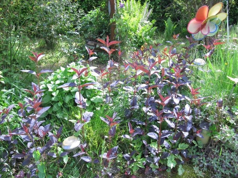 en vrac les floraisons du jardin  01414