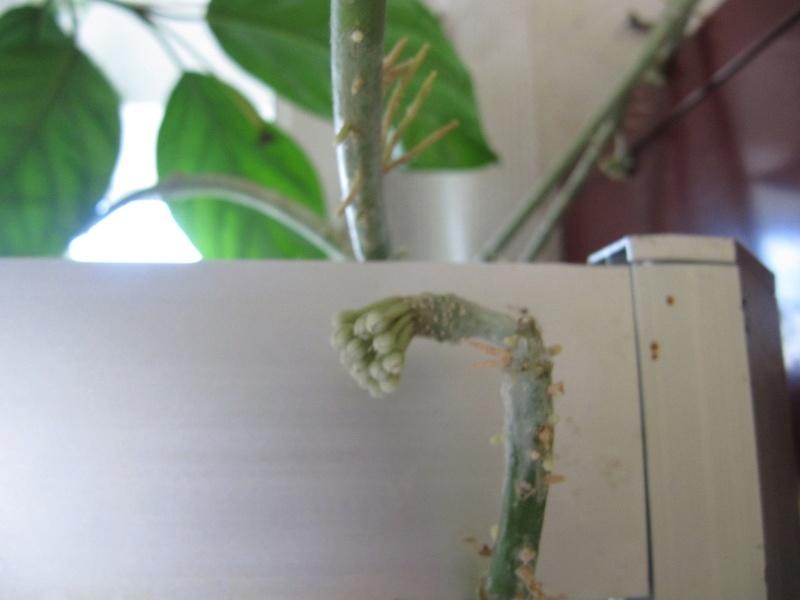 floraisons Hoyas 01614