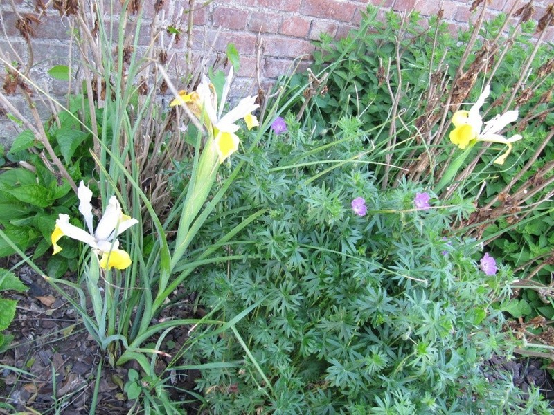 en vrac les floraisons du jardin  01713
