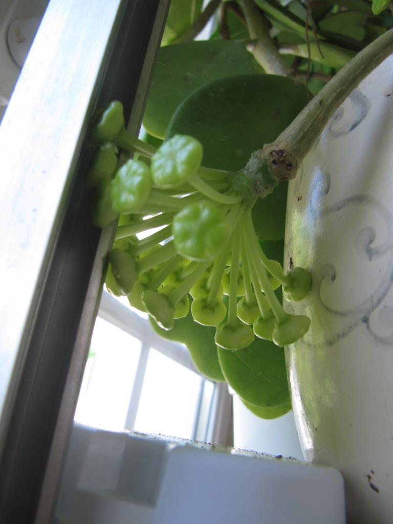 floraisons Hoyas 02212