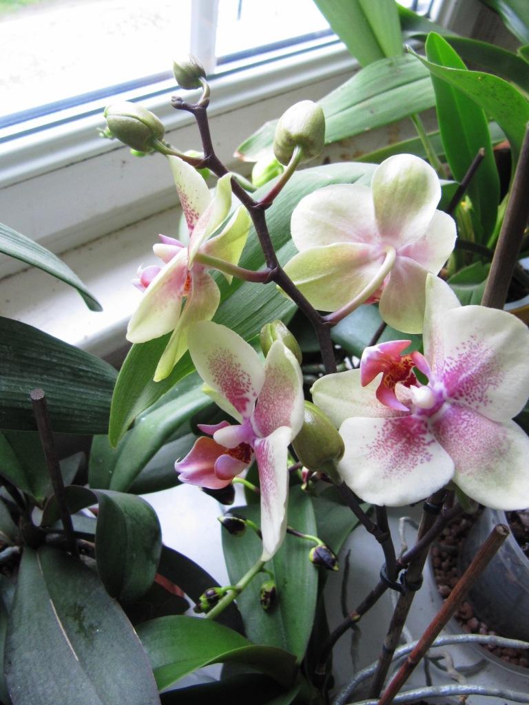 2 orchidées qui me reflerises  02910