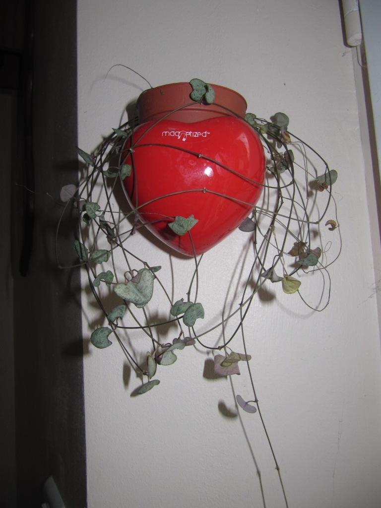 cerepogia mais lequel ...? c'est un woodii 'variegata' 03211