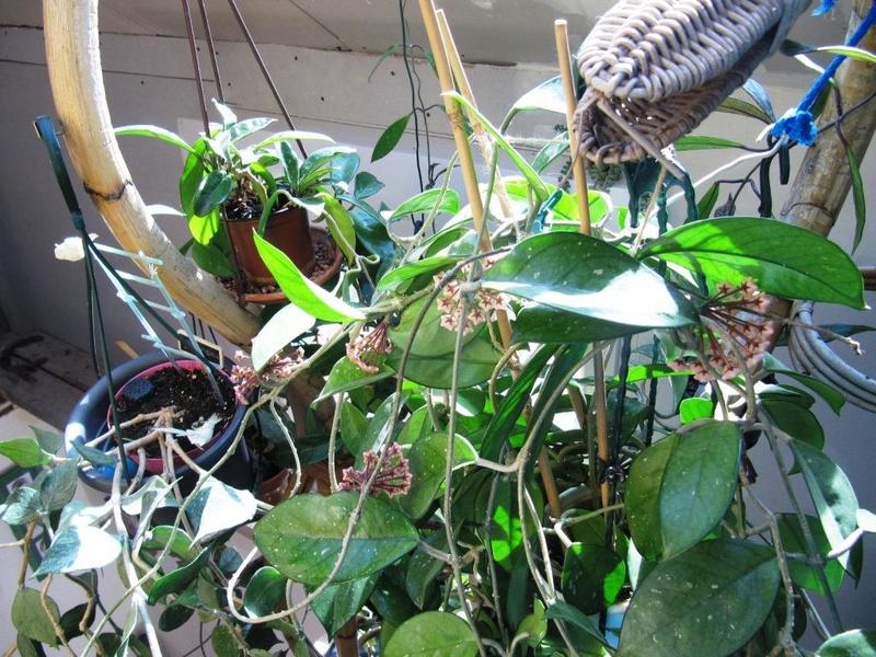 floraisons Hoyas 05210