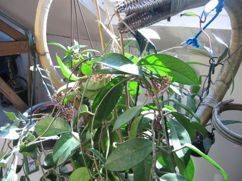 floraisons Hoyas 05311