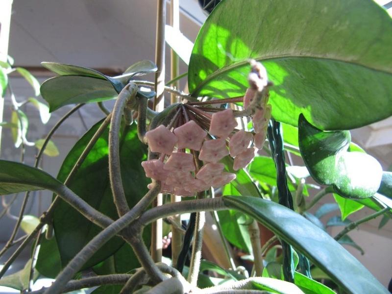 floraisons Hoyas 05510