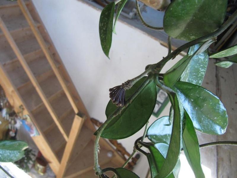floraisons Hoyas 05710