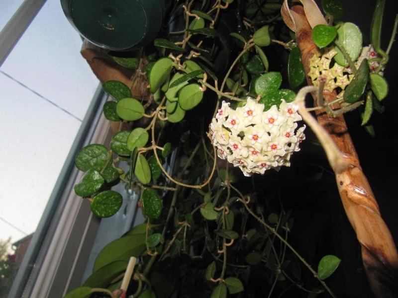 floraisons Hoyas 05810