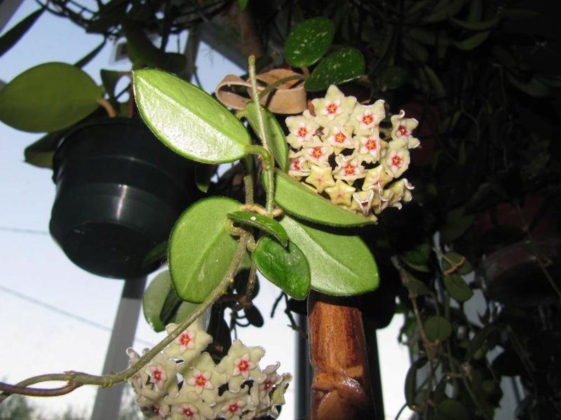 floraisons Hoyas 05910