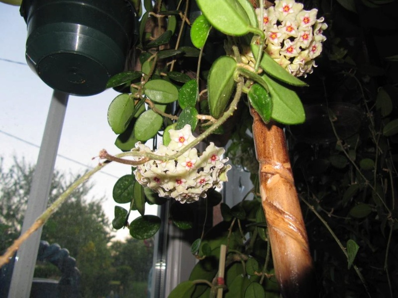 floraisons Hoyas 06010