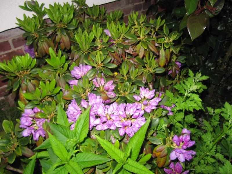 en vrac les floraisons du jardin  Img_4510