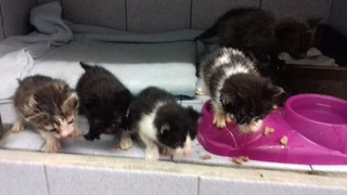 5 chatons de 3 semaines, Var 5_chat11