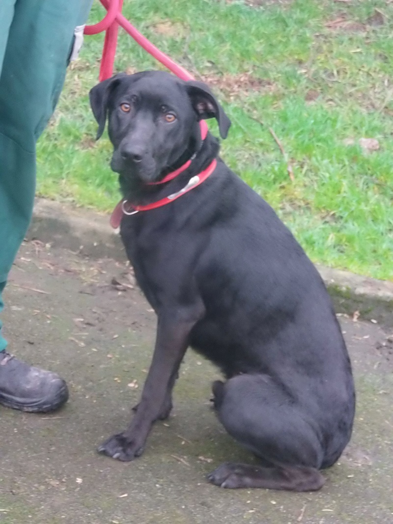 Opus labrador noir male 4 ans (2 ans de refuge)  de Béthune - SPAE à Evreux (27)  16880611