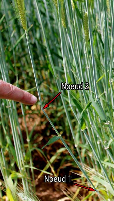 crop - crop circle intéressant - Page 6 Noeuds10