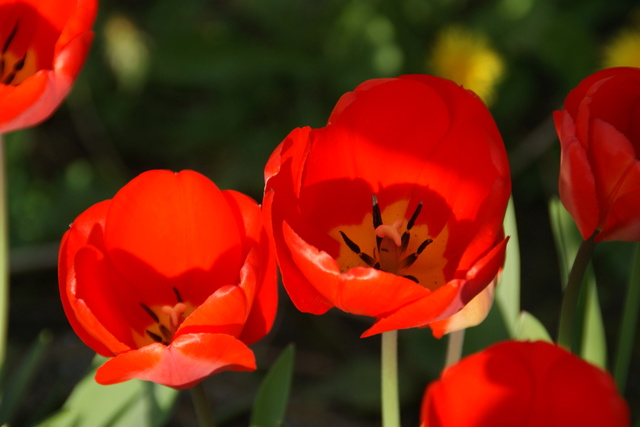 tulipes 2017 Dsc03717