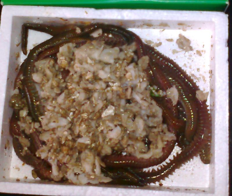 Alimentation :Vers marins Photo010
