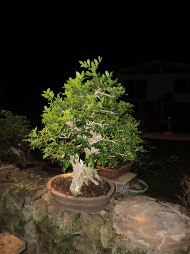murraya paniculata        mock orange Dsc06214
