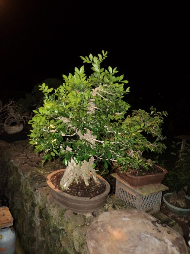 murraya paniculata        mock orange Dsc06215
