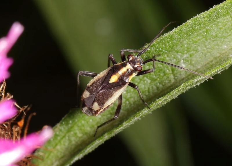 [Capsodes sulcatus] Capsodes sulcatus Captu107