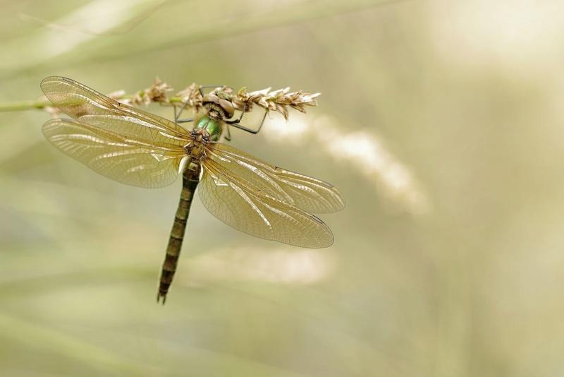 A rechercher (Mai-Juin) : la Cordulie bronzée [Cordulia aenea]  Captur51