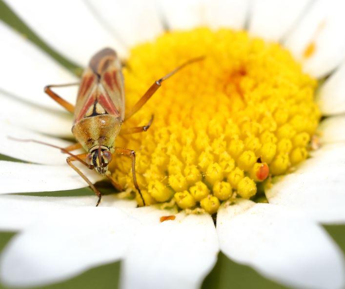[Calocoris roseomaculatus] Calocoris roseomaculatus ? Captur91