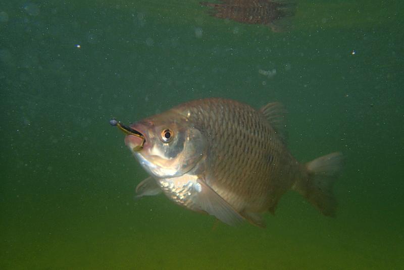 Sorties pêche Mai  Groten10