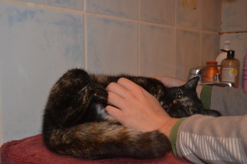 Calliopé, écaille de tortue (noir et feu) née en 2013 Dsc_0820
